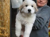 Great Pyrenese Puppy